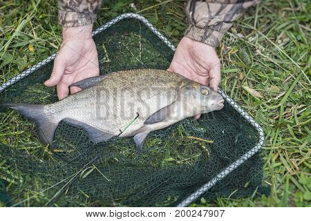 Close-up of big caught fish, bream on fishing line in hands of fisherman over landing net. Concepts of successful fishing, fortune, success, active rest, hobbies