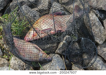Two bream in fisherman's nets on a stone beach, natural landscape. Concept of successful fishing.
