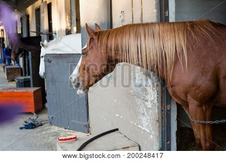 Close-up of brown horse in the stable