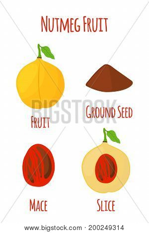 Nutmeg fruit, organic nut, ground seed, powder. Healthy vegetarian food. Natural spices. Made in cartoon flat style. Vector illustration