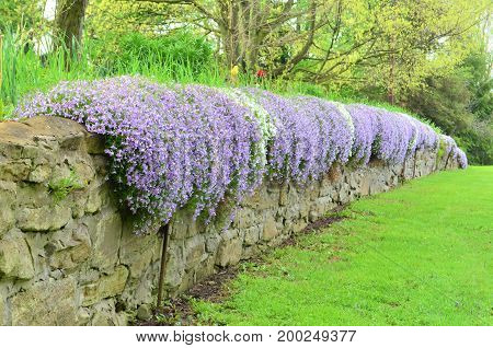 White and purple creeping phlox cascading over an old stone wall in the spring