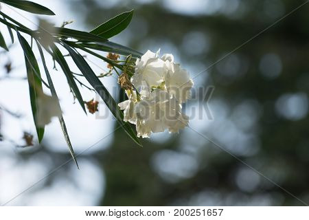 flower white oleander on blurred grey-green background with bokeh