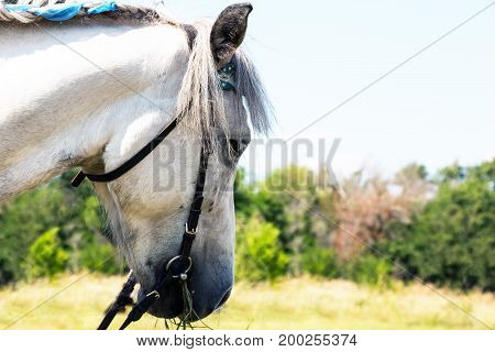 Portrait of a white horse on a natural background
