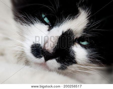 Photo of black white cat with blue eyes