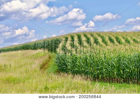 Curved corn rows in against a blue sky
