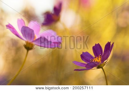 Artistic image of garden flowers. Purple flowers on a yellow toned background. Selective soft focus