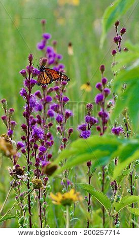 Bright purple flowers and a monarch butterfly