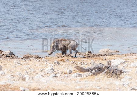 A warthog Phacochoerus africanus at a waterhole in Northern Namibia.
