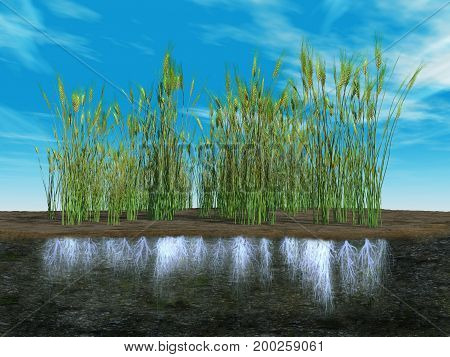 3d illustration of wheat plants with their roots
