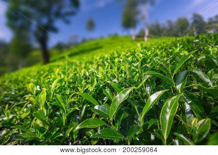 Green lush tea leaves on a tea plantation of Sri Lanka