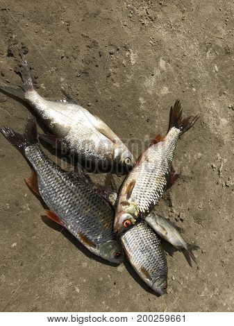 The Caught River Fish Lies On The Sandy Shore. Roach, Bream, Perch And Catfish. View From Above.