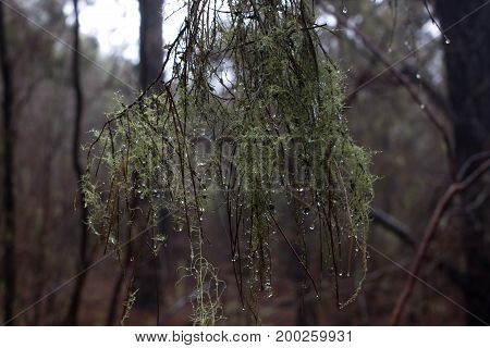 Long beard lichen tree. Usnea. Humid forest. Old man s beard