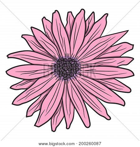 Pink gerbera. Vector illustration. Drawing by hand