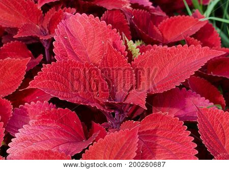 Red leafed house plant in an outdoor setting