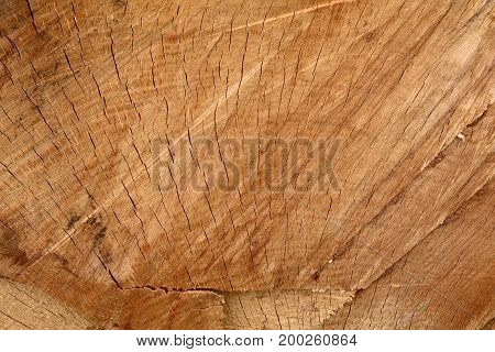 An oak section with cracks radiating outward