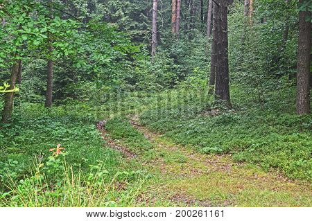 A dirt road running through a thick, mixed forest. The road is rarely frequented, it is heavily overgrown with plants, the ruts are poorly visible. Straddle the gentle hill and turn right. It is summer, the trees are green leaves. It's daytime.