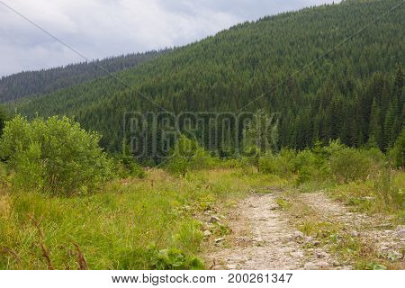 Spruce forest in the Ukrainian Carpathians. Sustainable clear ecosystem. Mountain road