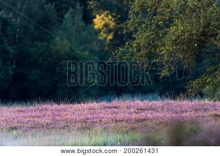 Blooming Common Heather In Nature Reserve. Lit By Morning Sun.