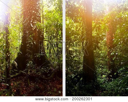 Large beautiful trees in the rain forest of the Borneo Island. Symbiosis of plants.