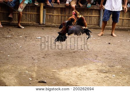 Two black brown colored roosters having a cockfight in an arena in the afternoon for sport while people are watching at the background in asia.