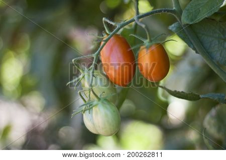 Fresh organic grape tomatoes ripening on a vine.