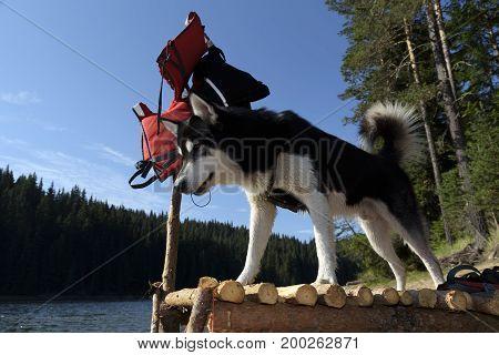 Alaskan Malamute on a pier watching down the water