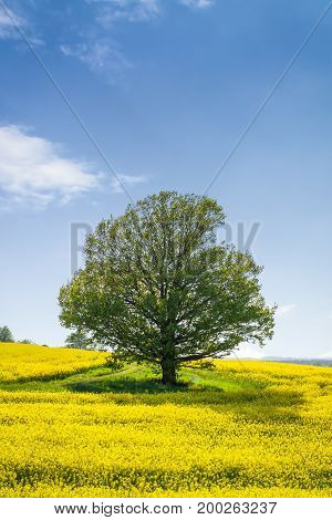 Yellow oilseed rape field and tree under the blue sky with sun