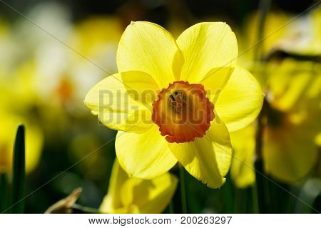 Bright Yellow Colored Close Up Of Narcissus Flower Growing In A Large Field At Springtime.