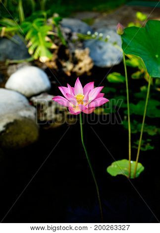 Tall Pink Lily Flower With Open Leaves In A Pond.
