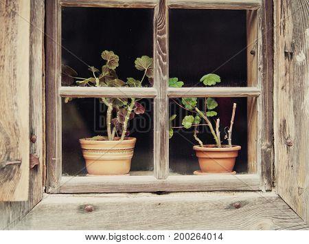 Flowers in a pot behind rustic wooden window on windowsill.