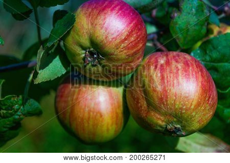 Ripe red apples on a branch close-up