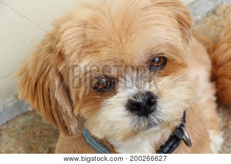 Head of a Lhasa Apso dog looking at the camera in a garden
