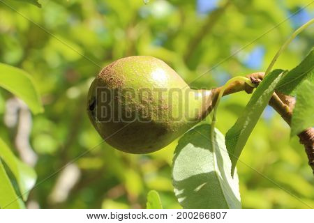 Little pear rippening on the branch of a pear tree in an orchard