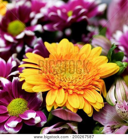 Colorful Summer Bouquet with Yellow Gerber Flower Purple Chrysanthemum and Pink Alstroemeria on Blurred background closeup. Selective Focus