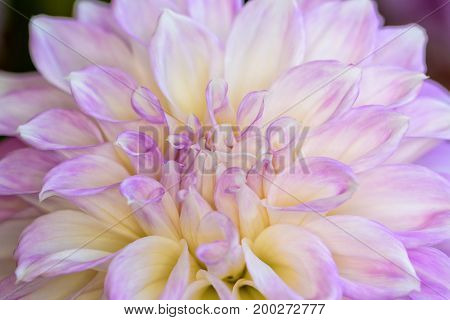 Close-up beautiful flower with purple and white petals of Dahlia hybrid for background