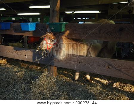 A llama contentedly munches hay at dinner time in a barn highlighted in a patch of late day sunshine.
