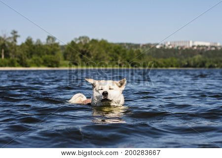 Funny dog of breeds Japanese Akita inu sails with closed eyes and ears in different directions in a beautiful river on the city and natural background in summer on a bright sunny day.