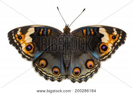 Isolated Dorsal View Of Female Blue Pansy Butterfly ( Junonia Orithya Linnaeus ) On White Background