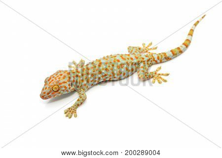 House Gecko Isolated