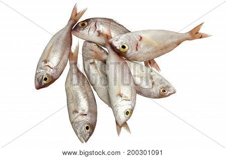 Sea red mullet on a white background closeup