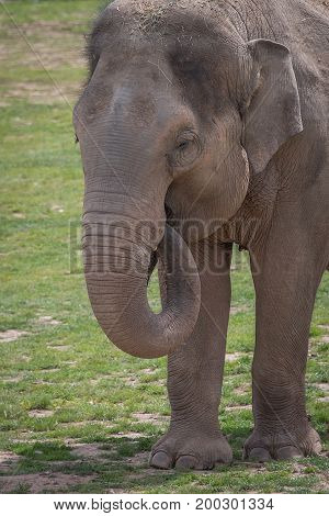 Upright vertical close up portrait of a young male elephant feeding showing the trunk in its mouth