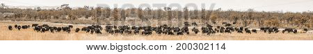 African bush buffalo in Kruger national park, South Africa ;Specie Syncerus caffer family of Bovidae