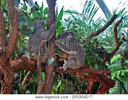Two Koalas holding a tree trunk in Sydney Taronga zoo