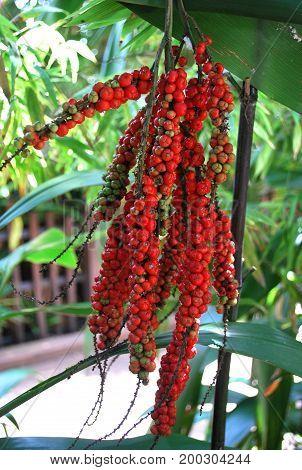 Cordyline Petiolaris red berries cluster (Cordyline fruticosa)