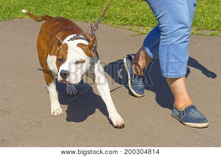 The dog is walking on a leash next to the owner's foot. Space under the text. 2018 year of the dog in the eastern calendar Concept: parodist dogs, dog friend of man, true friends, rescuers.