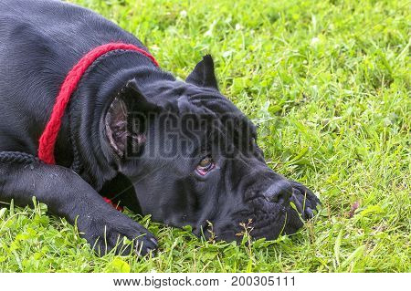 Neapolitana Mastino. Background of green blurry grass. Space under the text. 2018 year of the dog in the eastern calendar. Concept: parodist dogs, dog friend of man, true friends, rescuers.