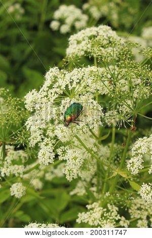Beetle Cetonia aurata on white flower closeup view