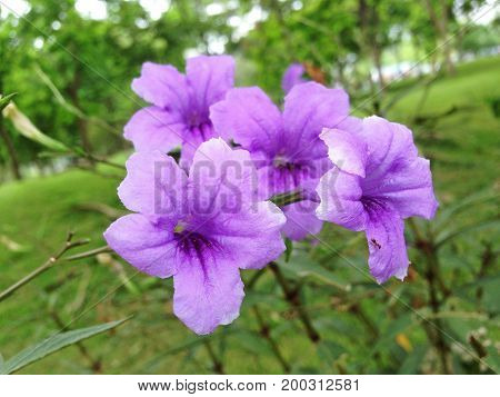 Mexican Petunia Or Ruellia Brittoniana Purple Flowers