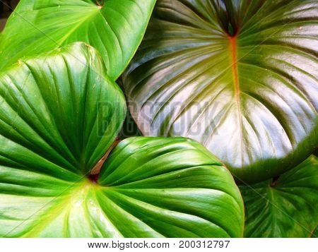 Homalomena Rubescens Or King Of Heart Is A Herbaceous Plant.