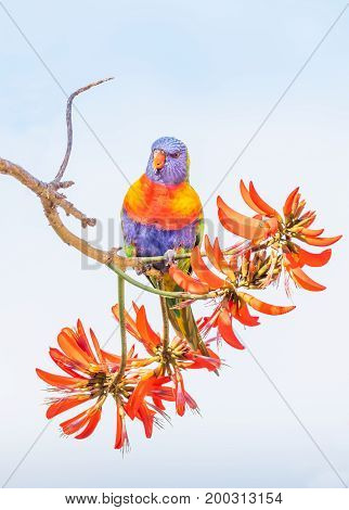 A Rainbow Lorikeet (Trichoglossus haematodus) - a medium-sized Australian parrot - feeding on the flowers of a Coral Tree (Erythrina sykesii) in Perth, Western Australia.
